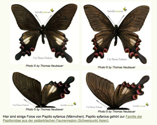 Papilio syfianus OBERTHÜR, 1886. Photo : http://www.butterflycorner.net/Asiens-Papilionidae.188.0.html