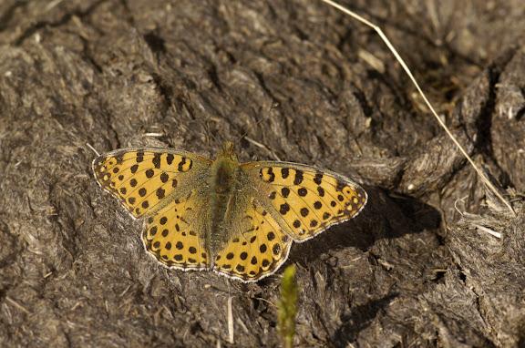 Issoria lathonia LINNAEUS, 1758, femelle. Alabel Pass, 3300 m (Kyrgyzistan), 28 juin 2006. Photo : B. Lalanne-Cassou