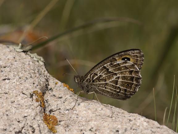 Hipparchia autonoe ESPER, [1783] (1900 m). Kekemeren, 30 juin 2006. Photo : B. Lalanne-Cassou