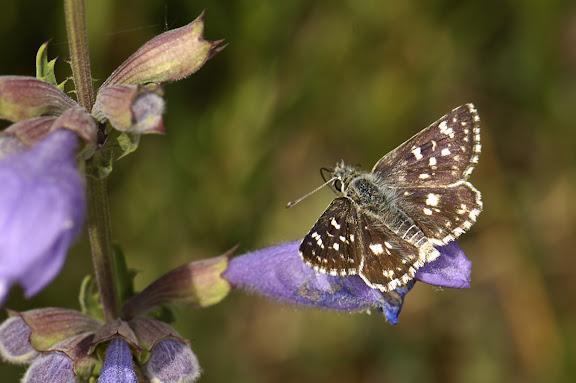 Spialia orbifer lugens STAUDINGER, 1886. Kadzi-Say, Kyrgyzistan, 14 juillet 2006. Photo : B. Lalanne-Cassou