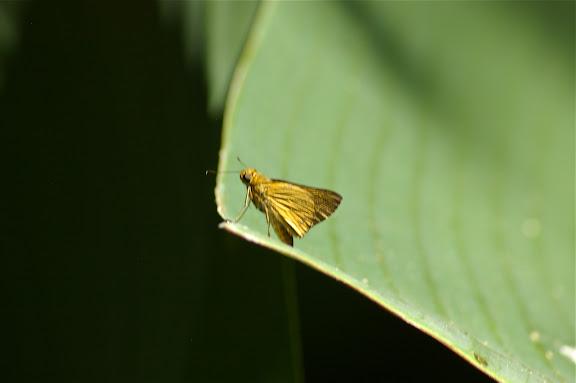 Hesperiidae : Anthoptus sp. ? Pulso (Ubatuba, SP), 12 février 2011. Photo : J.-M. Gayman