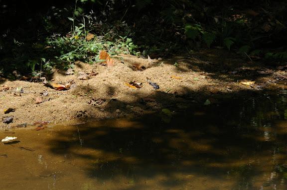 Au bord du marais : Marpesia chiron mud-puddlant. Partie orientale d'Ilha Grande (RJ), 18 février 2011. Photo : J.-M. Gayman