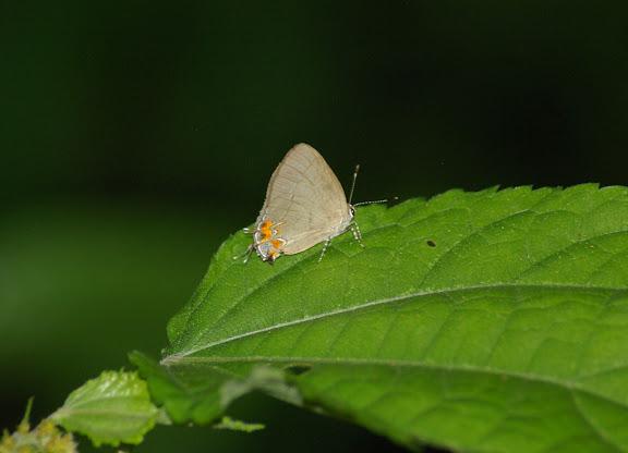 Probablement Calycopis janeirica FELDER, 1862, femelle (ou bien : Calycopis bellera HEWITSON, 1877 ?). Caçandoca (Ubatuba, SP), 23 février 2011. Photo : J.-M. Gayman