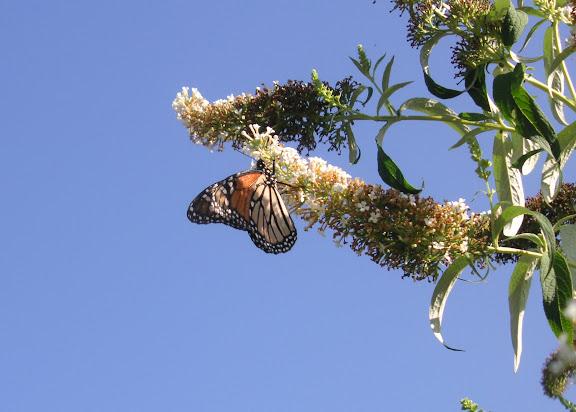 Danaus plexippus LINNAEUS? 1758. Lismore (NSW, Australie), 23 décembre 2004. Photo : J. Michel