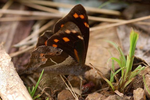 Satyrini : Pronophilina : Corades cistene HEWITSON, 1863. Allapa, route de Satipo (Junin, Pérou), 8 janvier 2011. Photo : Meena