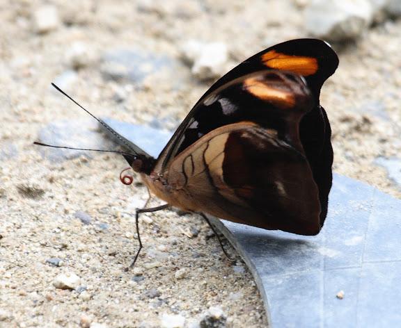 Biblidini : Catonephele chromis DOUBLEDAY, 1848, mâle, verso. Route de Manu (Madre de Dios), Pantiacolla Lodge, 10 décembre 2008. Photo : Benoit Nabholz