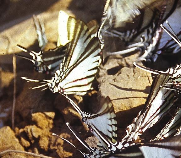 Leptocircini : Eurytides agesilaus autosilaus BATES, 1861. Cette espèce se distingue des autres présentes sur la photo par l'étroitesse de la zone transparente apicale (AA) et l'emplacement de la bande rouge (AP, revers) à l'intérieur de la bande noire. Rive de la Tambopata, TRC, août 2004. Photo : J.-M. Gayman