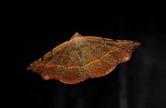 Noctuidae : Acontiinae : Sophta concavata WALKER, [1863]. Umina Beach (NSW, Australie), 26 avril 2011. Photo : Barbara Kedzierski