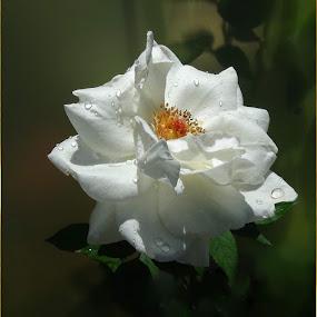 White Rose by Ilona Stefan - Flowers Single Flower (  )