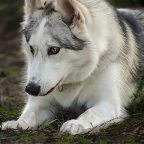 by Viks Pix - Animals - Dogs Portraits ( malamute, husky, shepherd )