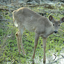 White-tailed deer -Doe