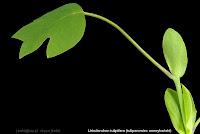 Liriodendron tulipifera - Tulipanowiec amerykański