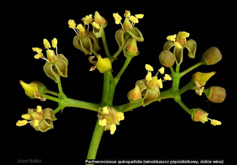 Parthenocissus tricuspidata flower - Winobluszcz trójklapowy kwiaty