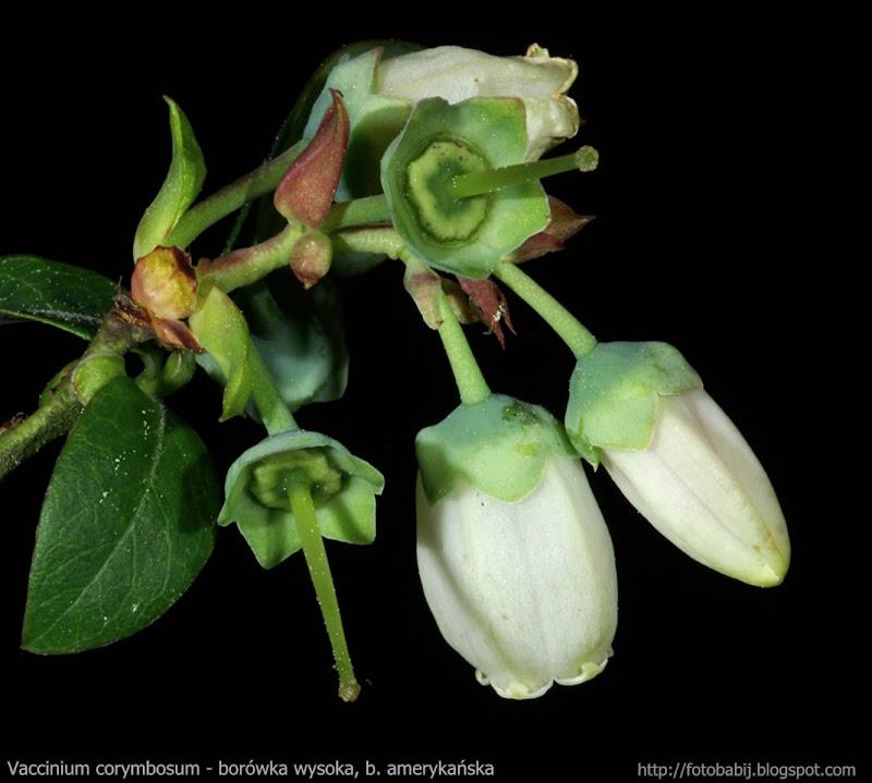 Vaccinium corymbosum flwers - Borówka wysoka, b. amerykańska kwiaty