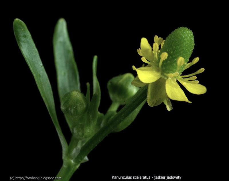 Ranunculus sceleratus flower - Jaskier jadowity kwiat