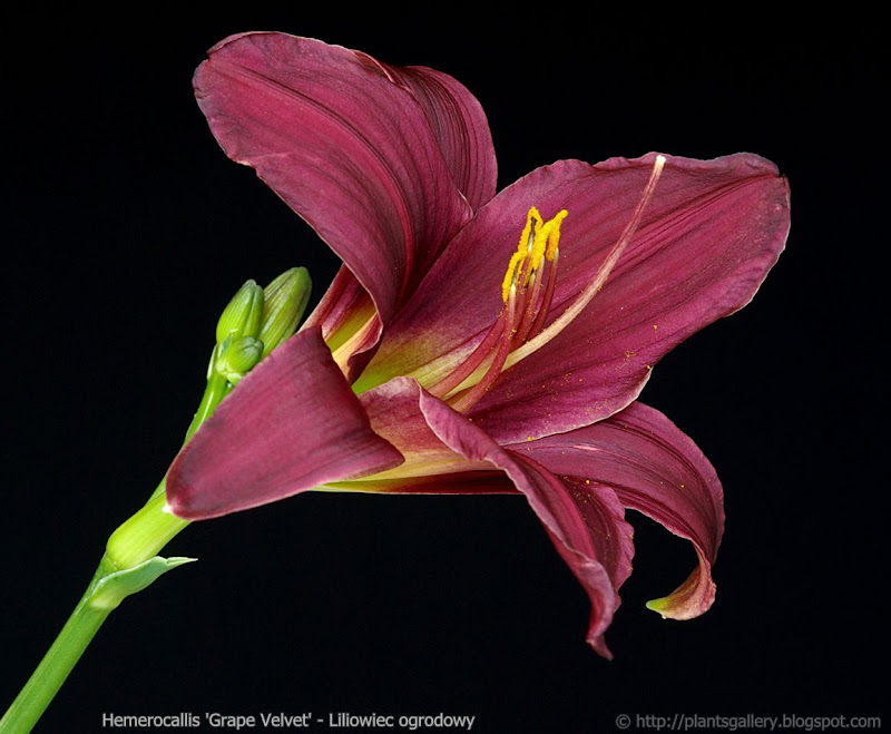 Hemerocallis 'Grape Velvet' - Liliowiec 'Grape Velvet'