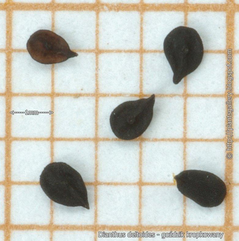 Dianthus deltoides seeds - Goździk kropkowany nasiona