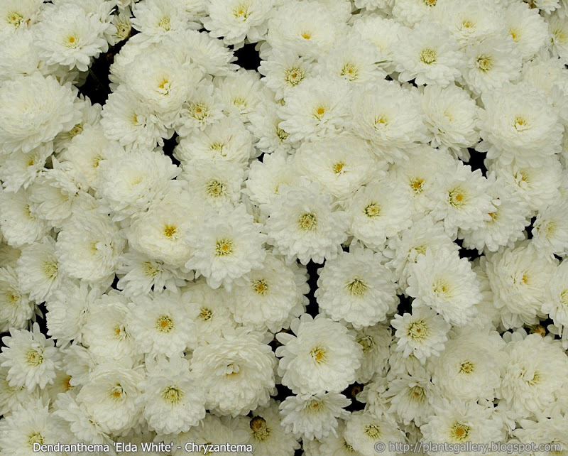 Dendranthema 'Elda White' flowers  - Chryzantema 'Elda White'  kwiaty
