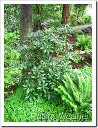 A Rhododendron and friends thrive in the shade garden