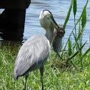 Great blue heron, Florida water rat