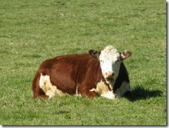 cow_open_mouthed_and_reclined