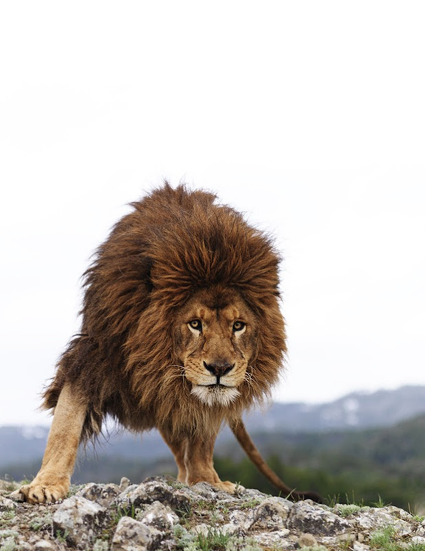 King of the Wild-Lion