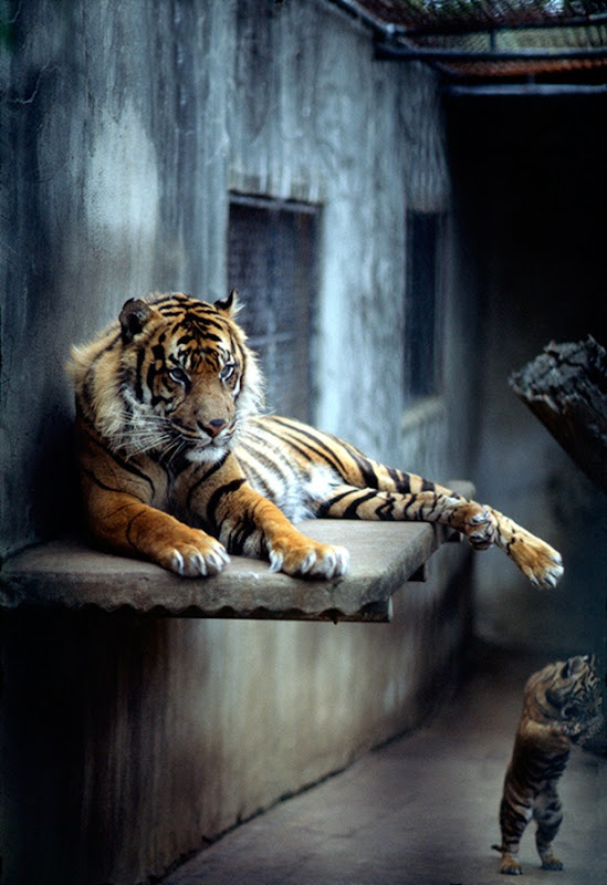 Wildlife-photography-tiger-5