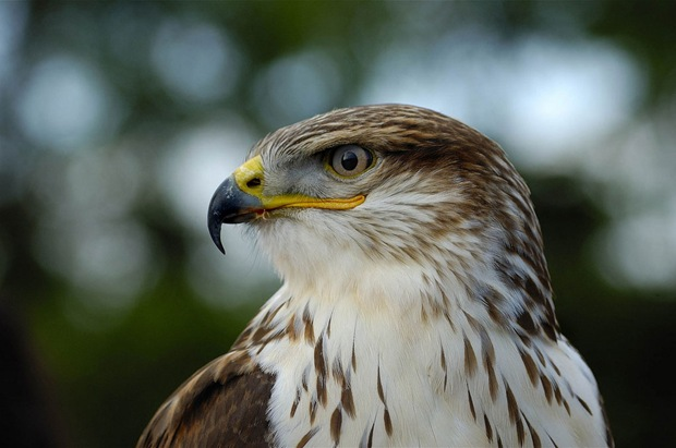 Bird-photography-hawk