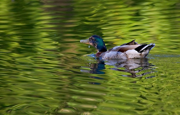 Duck-in-water