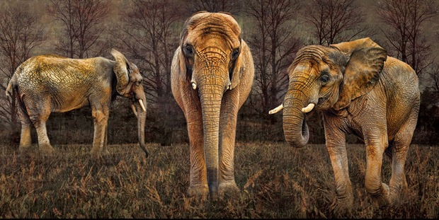 HDR Wildlife Photography-Elephant