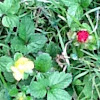 Wild Field Strawberry
