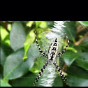 BLACK AND YELLOW GARDEN SPIDER/Orb Weaver