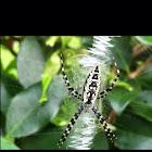BLACK AND YELLOW GARDEN SPIDER/Orb Weaver