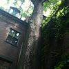 Ailanthus tree