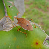 Banksia Shield Bug