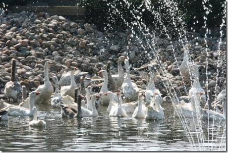 Geese in pond 09