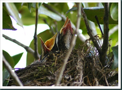 2 baby robins (4)