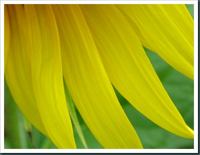 sunflower petals0731 (1)