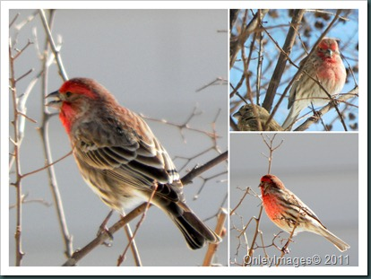 male finch collage1
