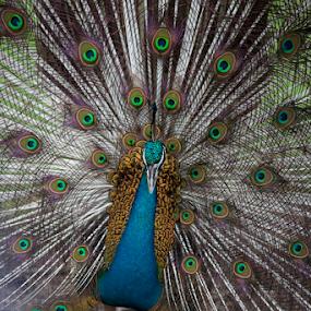 Beauty by Sandeep  Kumar - Animals Birds ( bird, wow, color, national, pwcmovinganimals, india, peacock, sale )