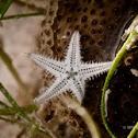 baby starfish?