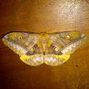 Giant Silkmoth