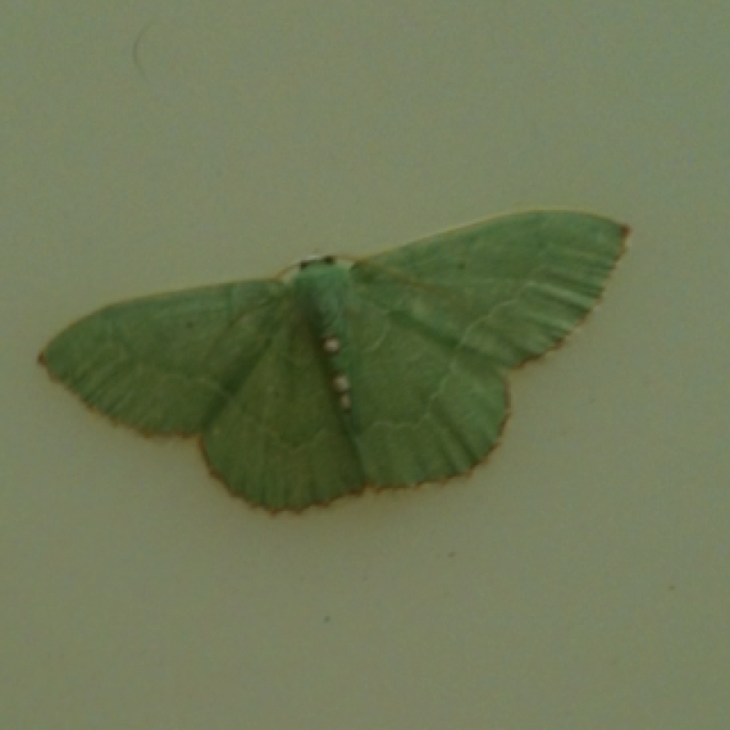 Red-fringed Emerald