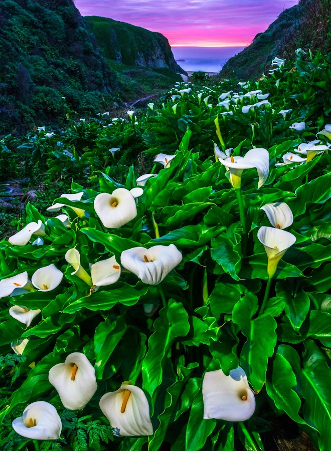 Sunset Lilly's by Abe Blair - Flowers Flowers in the Wild ( wildflowers, abe  blair, big sur, california, green, sun coming through wildflowers, fine art, white, home decor, calla lilly, bloom, ocean, beach, spring, coast, spring colorful flowers, light painting, hidden, sunset, flower arrangements, long exposure, flowers, monteray )