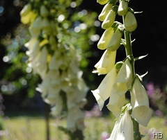 Fingerhut| Digitalis purpurea 'Alba' © H. Brune