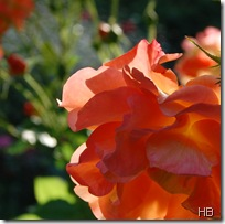 Rose © H. Brune