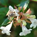Common Bee