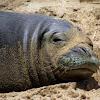 Monk Seal   (Endangered)