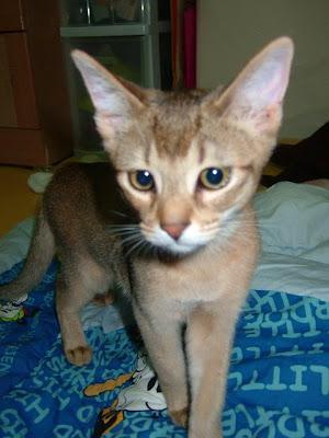 불만가득한 고양이 바토[고양이,고양이키우기,고양이집사,반려묘,cat]