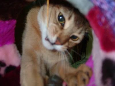놀아달란 고양이 [고양이,cat,vato,바토]
